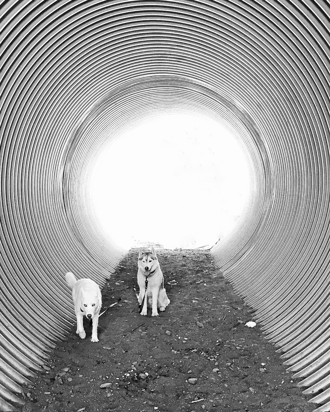 The tunnel vision is strong with these two. #Artsyfartsy shot from our hike today. #ParkCity #YukiTheDestroyer #BentleyChickenFingersBlock