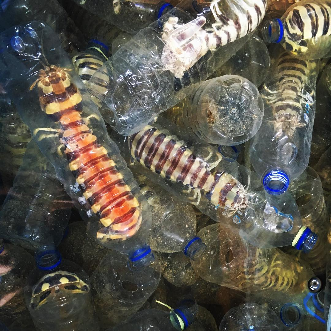 "One the most disturbing things I ever did see... Upcycling discarded plastic water bottles into ""cages"" for lobsters. These crustaceans are housed in these plastic prisons right up until they meet their end in a frier or skillet and tossed onto a..."