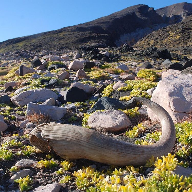 A #muskox horn found on a hike represents a sign of life in the #arctic.  Photo by #ASCMicroplastics partner Ocean Research Project who gathered water samples off the coast of #Greenland.