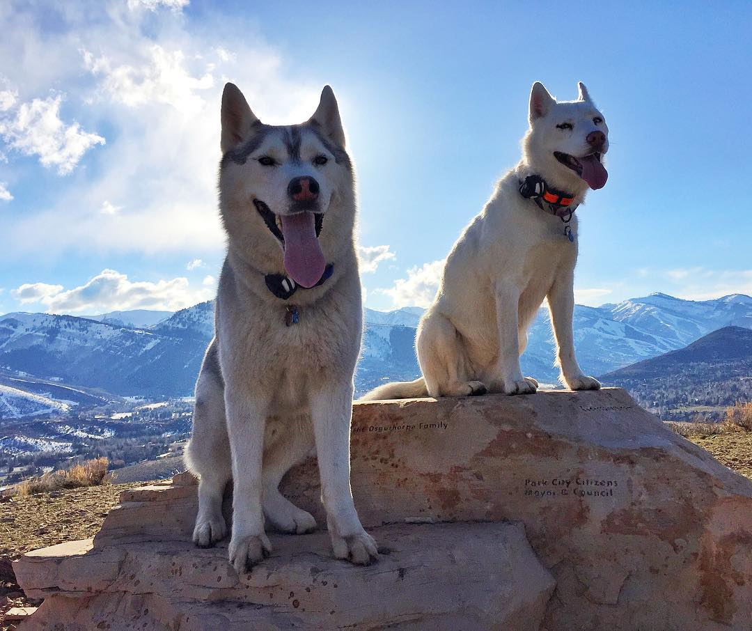Portrait of a very majestic looking Bentley and Yuki after a long hike yesterday up here in #ParkCity. It's not easy to get them to pose like this, especially when there are deer nearby. #wildlifeplaytime #BentleyChickenFingersBlock #YukiTheDestroyer