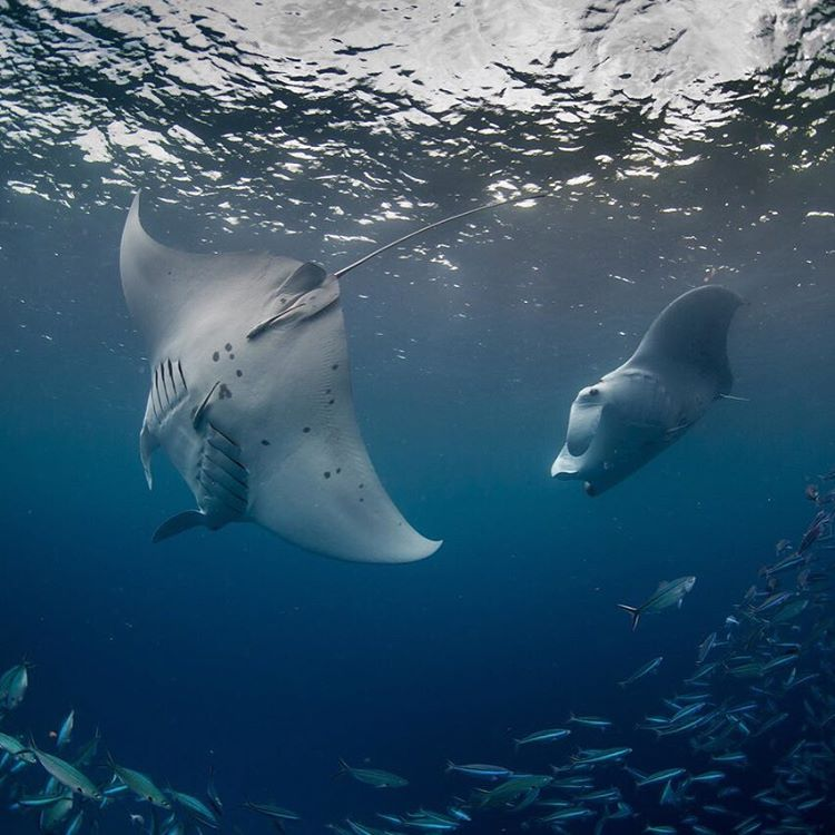 These #mantarays filtering plankton off the coast of #Palau captivated the #PristineSeas team, as they collected samples for #ASCMicroplastics. @natgeopristineseas @natgeo  Photo: Enric Sala @enricsala