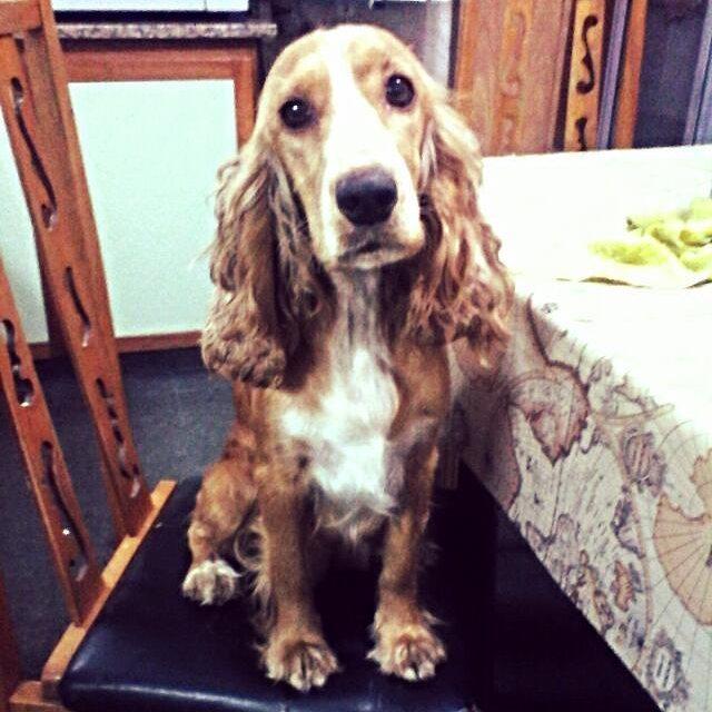 Les presento a olivia. La nueva integrante de la familia aunque mis papás todavía no lo sepan jajajjaaa  #dog #puppy #cockerspaniel #cocker #pet #perrita #mascota #cachorra #newbie #welcome #baby #cutie #hermosa