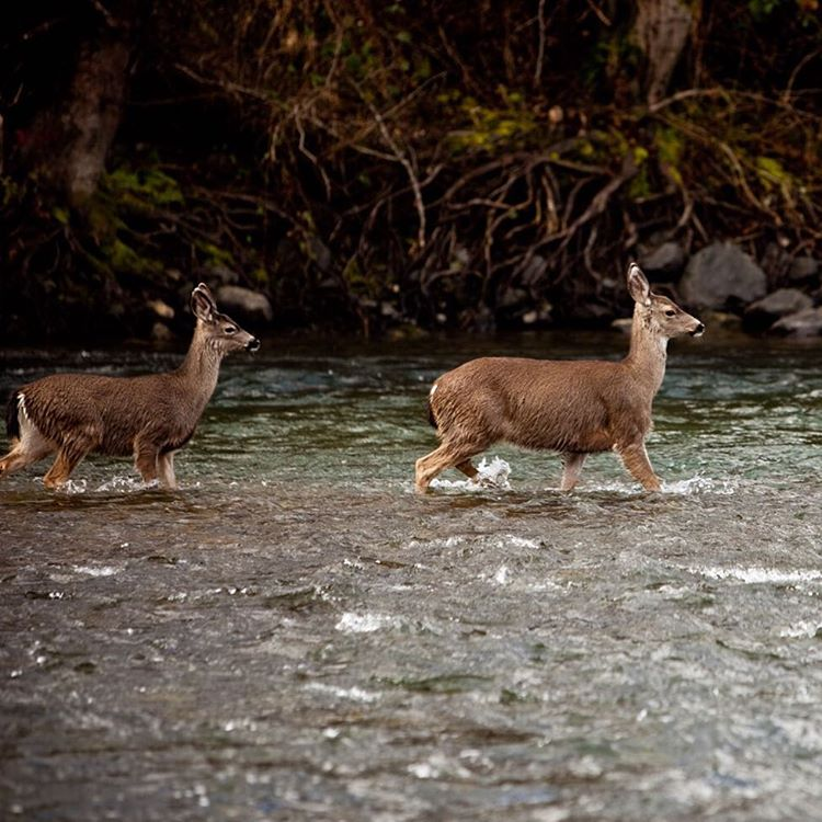 Stay safe while crossing rivers this weekend. #pladra #river #deer #nature
