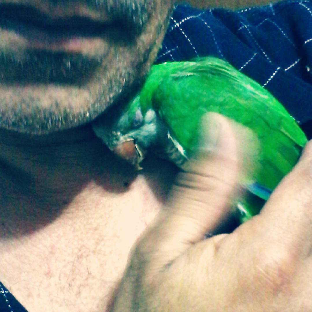 La mimada de papá ❤  #bird #cotorra #animal #littleparrot #parrot #cutie #beautiful #ave #green #pet #baby #love
