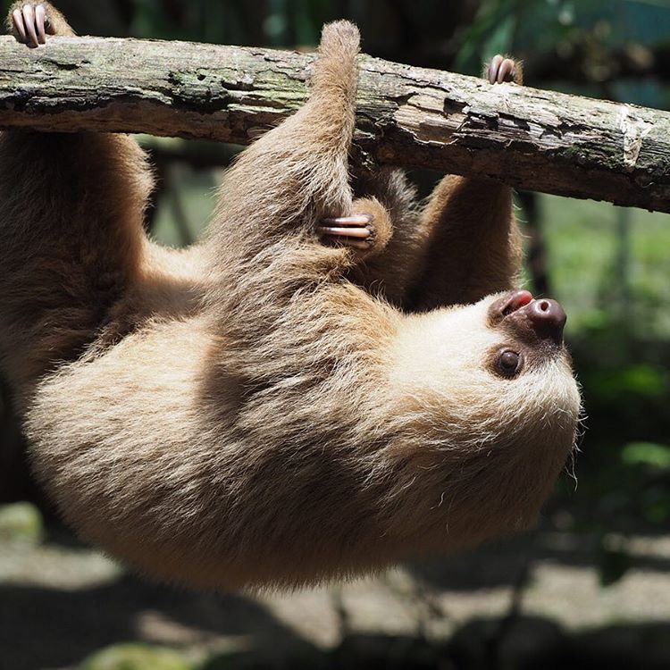 Mood. #Cuipo #SaveRainforest #SlothLife #StopTheChop