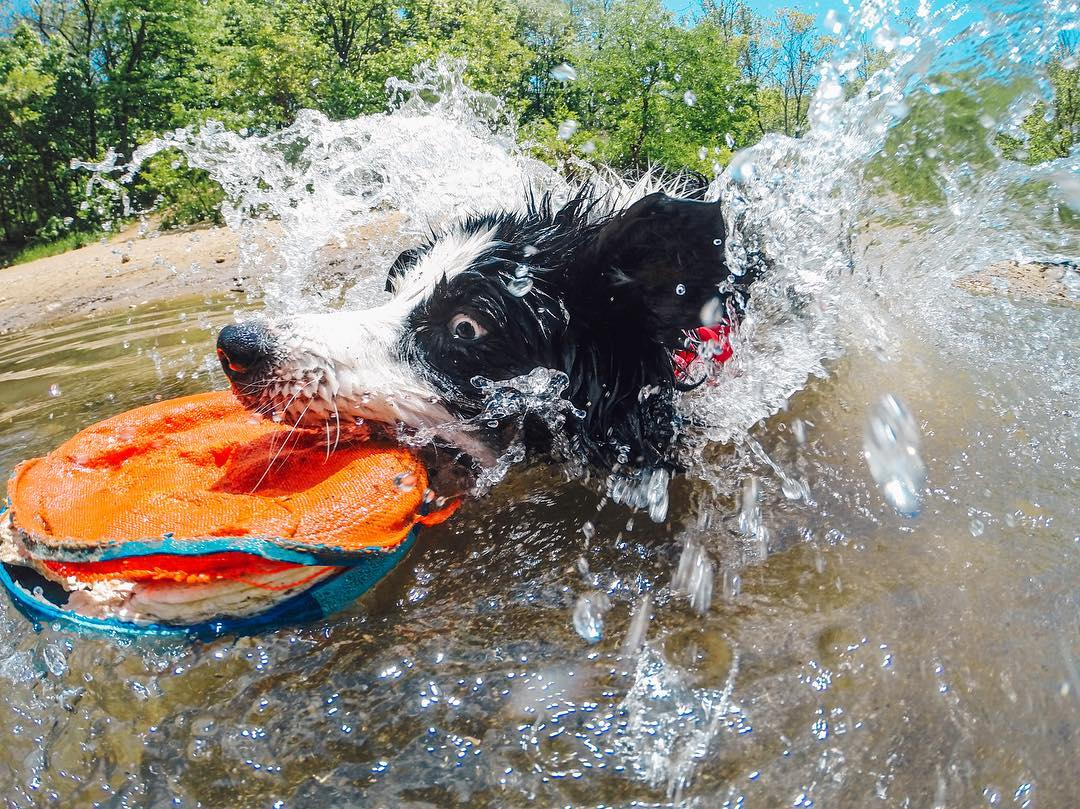 Photo of the Day! Fergie doing what she does best...playing fetch! We're celebrating #NationalPetDay so be sure to share your furry friends with us! #GoPro  #