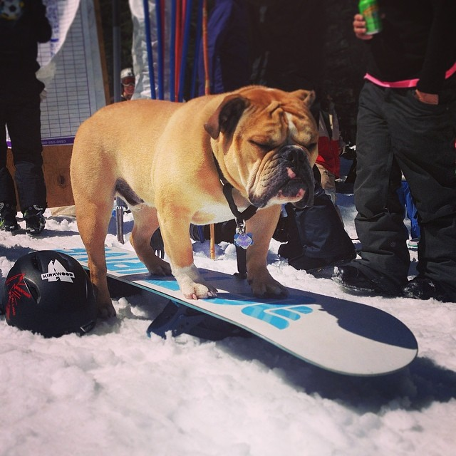 This guy is ready to ride! #kirkwood #bankedslalom #thriving #boarddogs