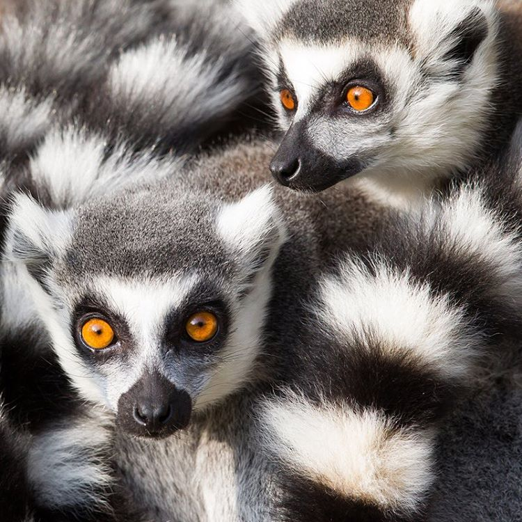 Ring-tailed #lemurs are highly social creatures, living in female dominant groups with an average of 17 lemurs. They can be found in #Madagascar in a variety of habitats including #rainforests, deciduous, and spiny bush forests. Due to deforestation,...