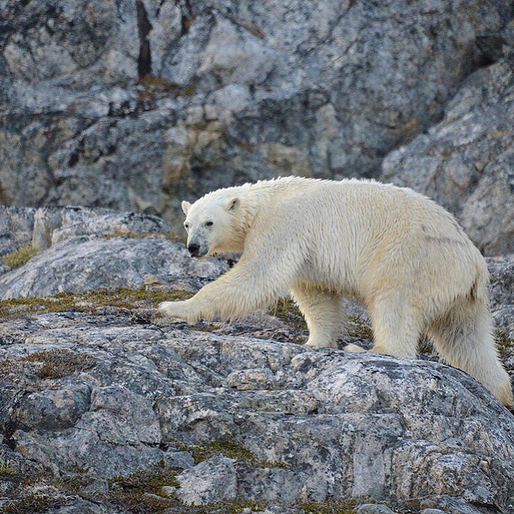 Where did you see your first #polarbear?  Adventure scientist @mikelibecki came across this one while in #Greenland collecting samples for #ASCScat.  Learn how to #belikemike and collect scat samples on your next #adventure on our website.