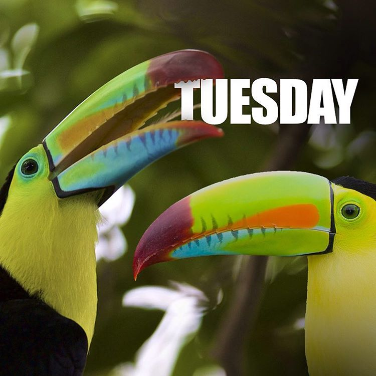 If you made it through Monday, toucan make it through anything. #Cuipo #SaveRainforest #Toucan #BadPuns #TuesdayTruth