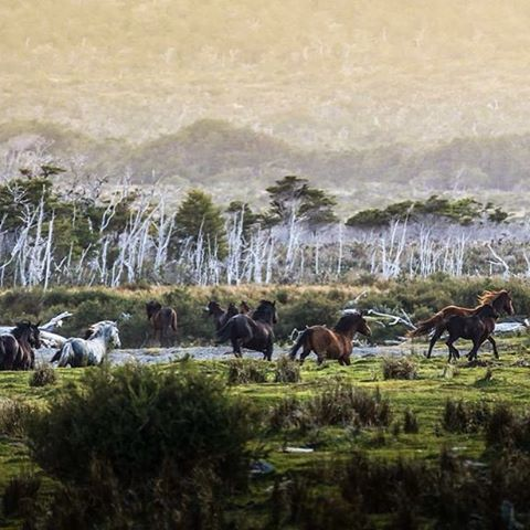 Tropilla de caballos salvajes asustados por nuestra presencia en  Bahía Aguirre. @patagonia.arg @patagonia #conservemos #peninsulamitre #tierradelfuego