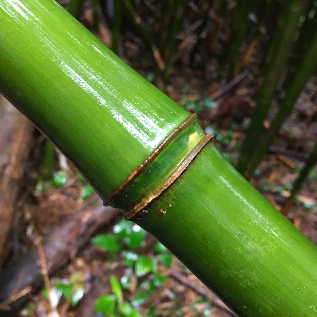 quality boo // hana, hawaii // #bamboo
