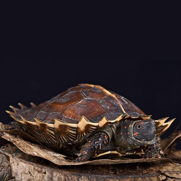 The spiny turtle is found throughout lowland Thailand, Borneo, and various small Indonesian Islands. They live near shallow rainforest streams and often hide under plant debris or clumps of grass as camouflage to predators and hunters. #Cuipo...