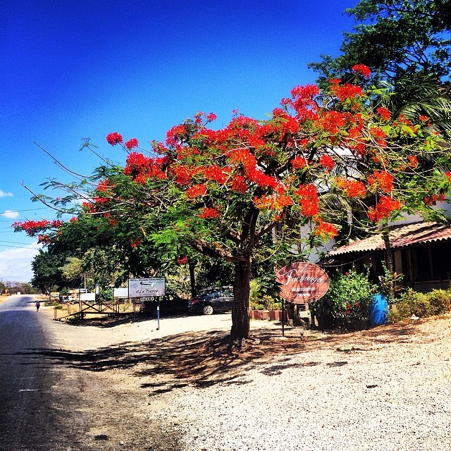 Malinche tree in full bloom here in Costa Rica...Happy Easter! #miola #tamarindo #costarica #puravida