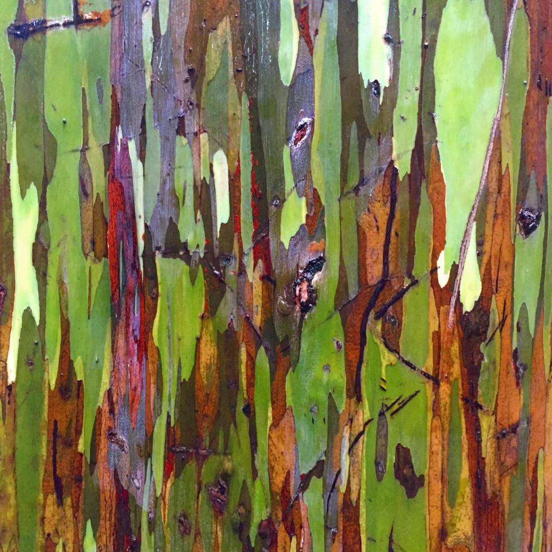 the rainbow eucalyptus tree had camo before camo was cool! #soulfulsituations #nature