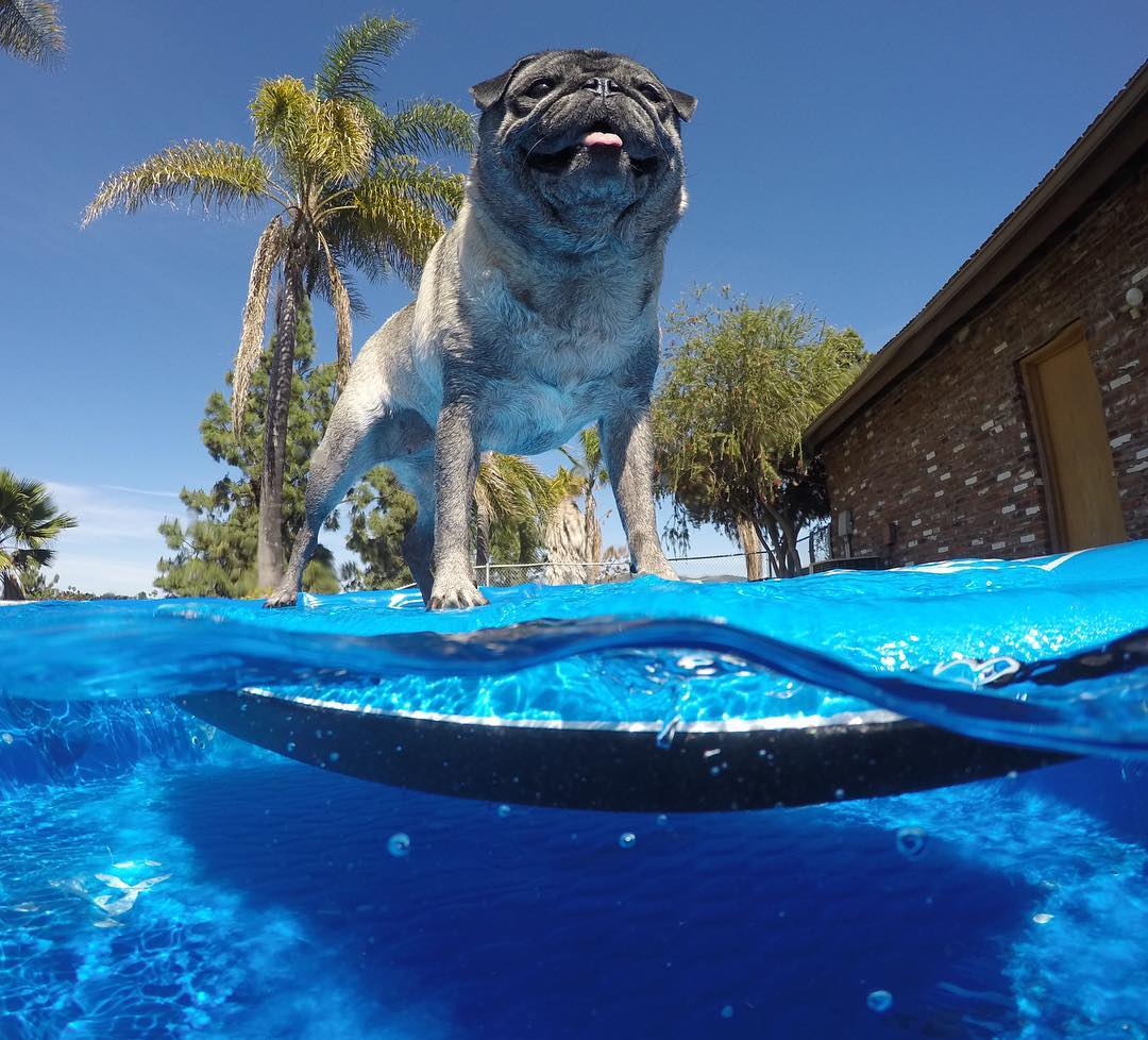 #InternationalSurfingDay isn't just for us humans, right @brandy_the_pug?  Brandy knows what time it is...time for an afternoon session! #