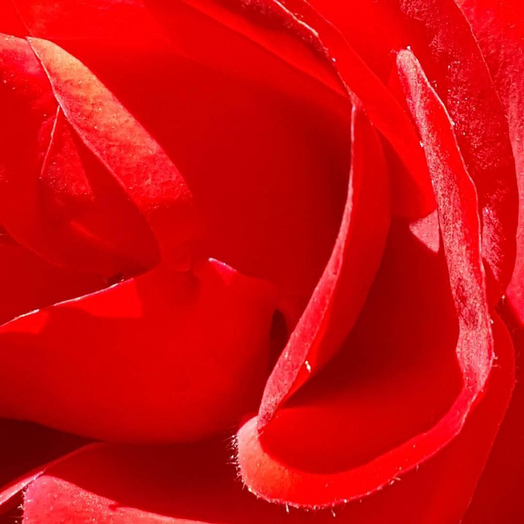 Cuando un hombre habla del color rojo... se refiere al rojo rojo. Seamos simples y directos. #rojo #petalo #rosaroja #all_my_own #arte_of_nature #flor #ig_flowers #macro #creacion #naturaleza #nature #agean_fotografia #fotografia #picoftheday #samsung...