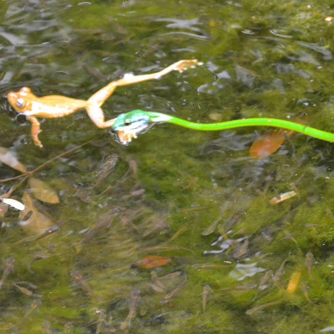 La ley del estanque.  #all_my_own #anfibio #reptiles #serpiente #rana #frogs #estaes_america #descubrecostarica #costarica #manuelantonio #selva #d3100 #nikon #fotografia #fotodeldia #picoftheday #ig_costarica #agean_fotografia #agean_animals...