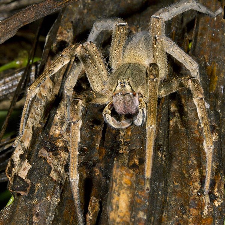 Brazilian wandering spiders have a leg span of 13 to 15 cm long. They wander around the jungle floor at night, rather than hanging in a lair or maintaining a web like other spiders. If you see one, stay faaar away as they're known by most researchers...