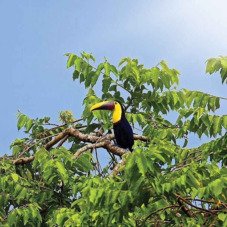 The Chestnut-Mandibled #Toucan, like other frugivorous birds, eat a large variety of fruits and play a vital role in seed dispersal. They can be highly competitive with other toucans foraging for fruit and have been known to follow smaller birds, then...
