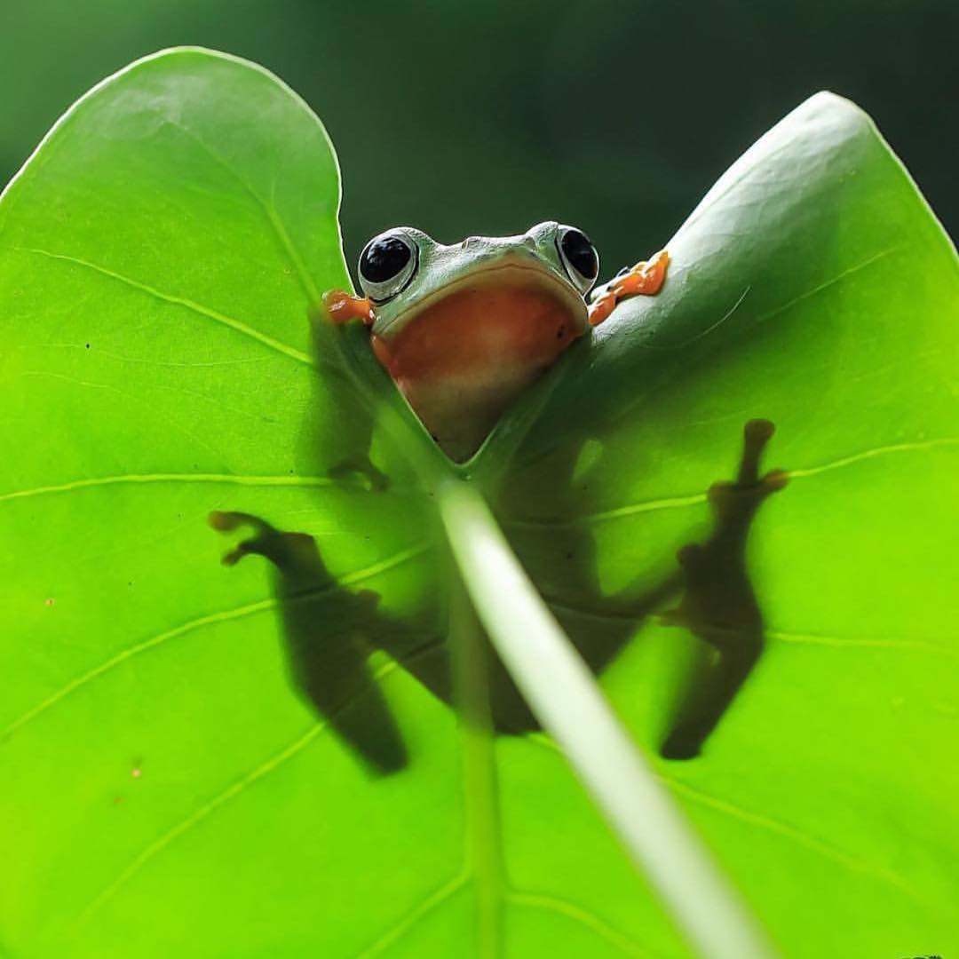 Did someone say that it's the weekend again? #Cuipo #SaveRainforest #TreeFrog #LetsHang #Friyay