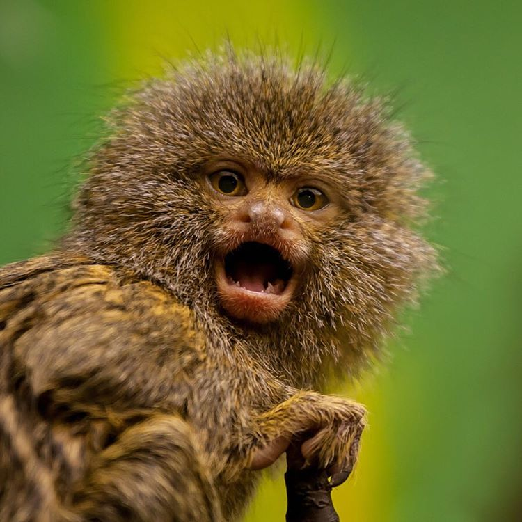 Heyyyyyyy! Don't freak out, it's already #Wednesday! #Cuipo #SaveRainforest #Marmoset #WildlifeWednesday #HalfwayThere