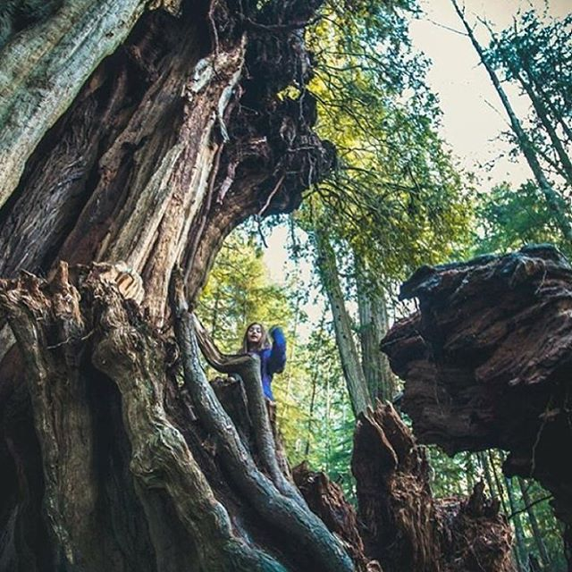 NAVIGATING GIANTS  #radparks shot in from #parkchamp @melanie_noelani in @olympicnationalpark #redwoods #outdoorphotography #leaveitbetterthanyoufoundit