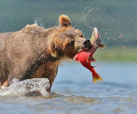 """""""It's true, there are more photographers that die from bears than from any other wild animals. Yet this is always the fault of the man."""" The spoken words of respect from photographer Sergey Gorshkov.  Sergey snapped this photo on the #KamchatkaRiver in..."""