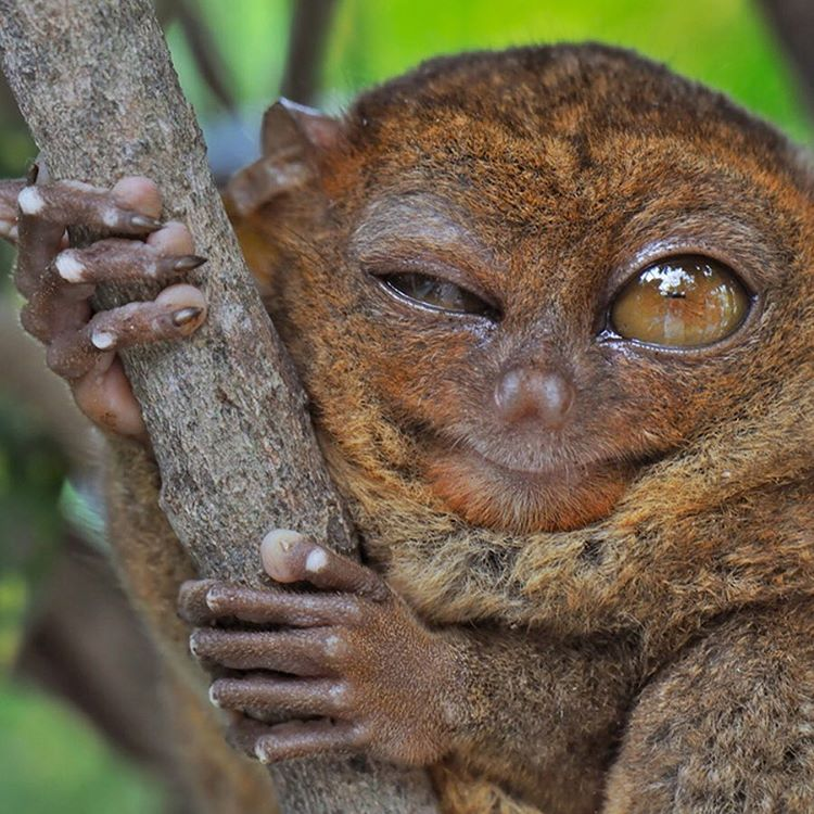 It's like looking into a mirror. #Mood #Cuipo #SaveRainforest #MondayFeels #Tarsier #WildlifePlanet
