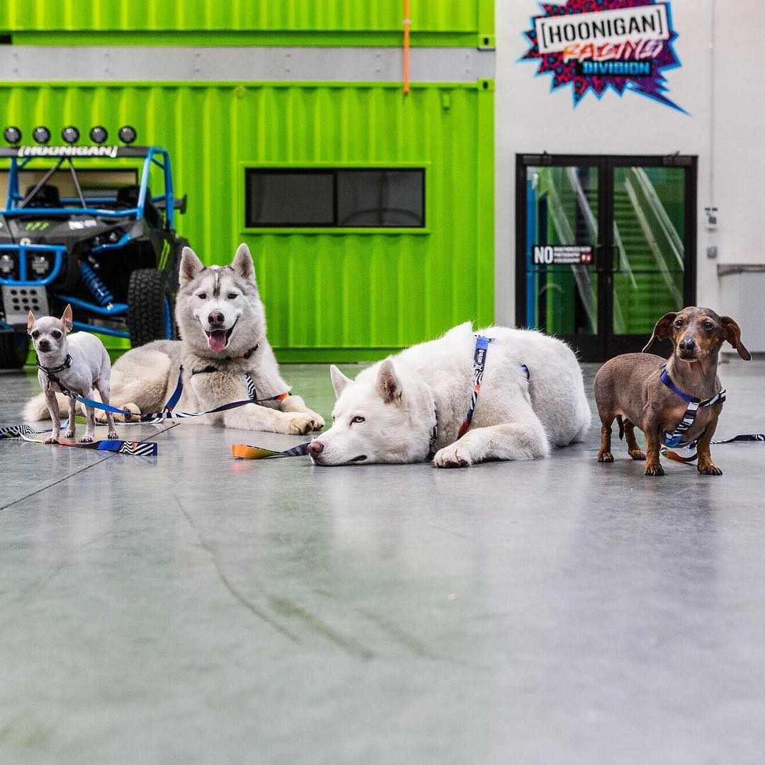 My fur beasts Yuki & Bentley back at home in the #HRD_HQ, with a few little visitors from @wolfgangmanandbeast (CJ and Plum) all running my new Hoonigan Racing livery from @FelipePantone. Cool to see the new print on their harnesses now, and in smaller...