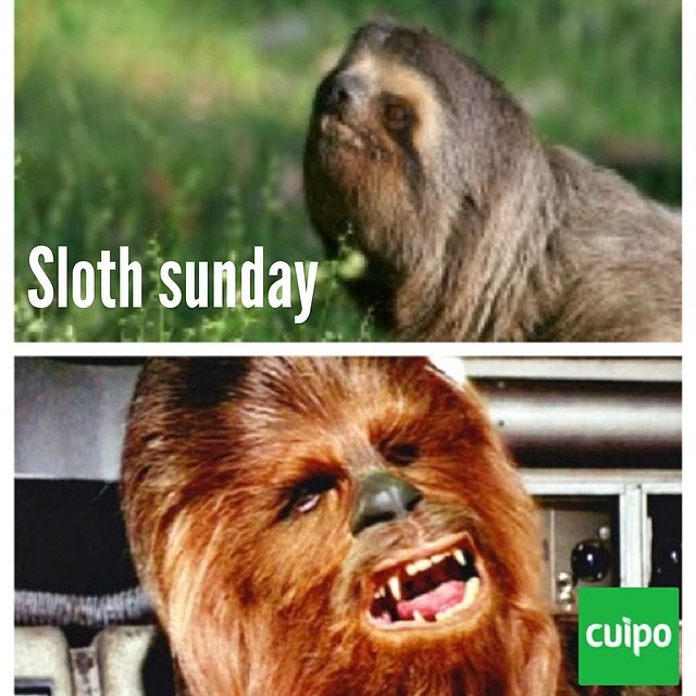 Chewbacca is in the sloth family. Happy sloth sunday. #chewbacca #sloth #slothsunday #cuipo #saverainforest