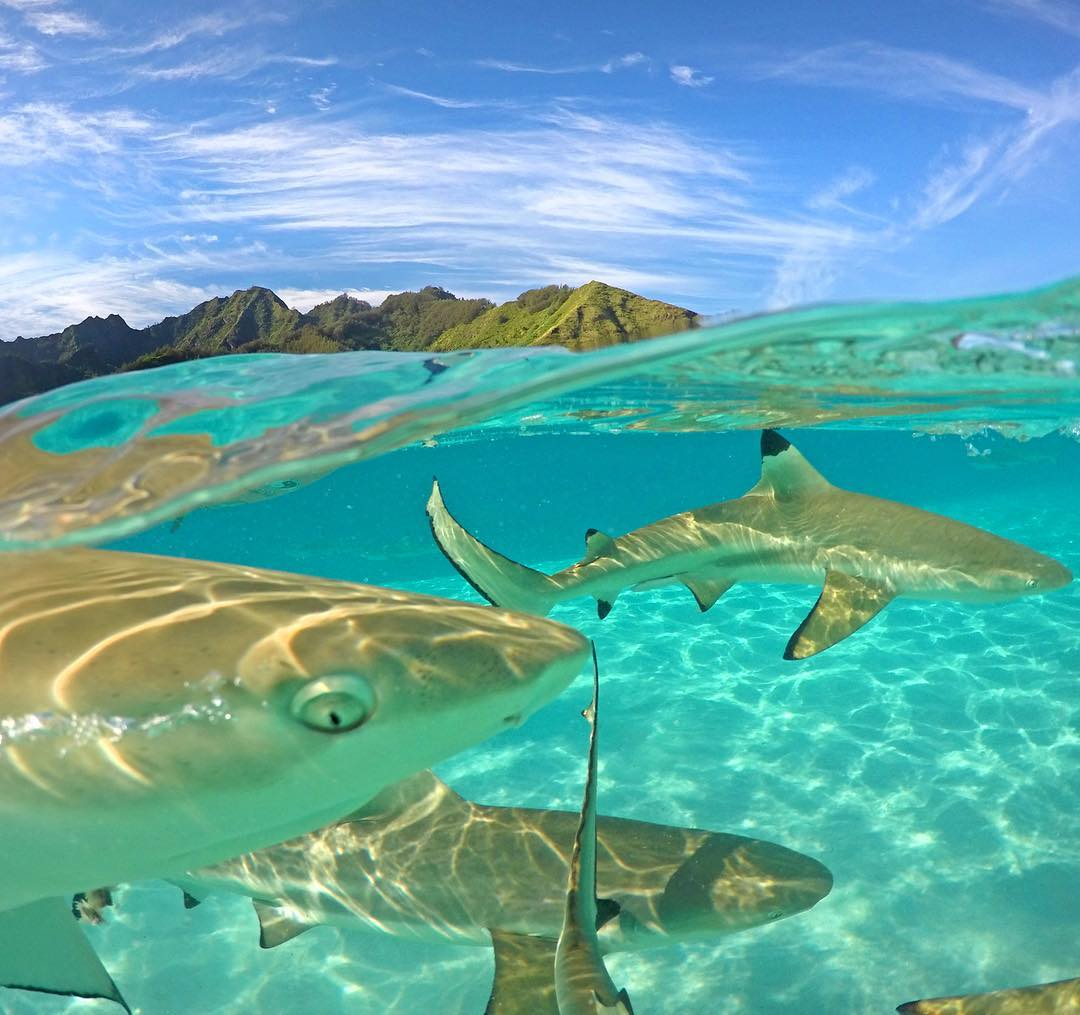 @claucoxrfavela up close and personal with a group of blacktip sharks in Mo'orea. GoPro HERO4 | GoPole Evo #gopro #gopole #gopoleevo #sharkweek #moorea