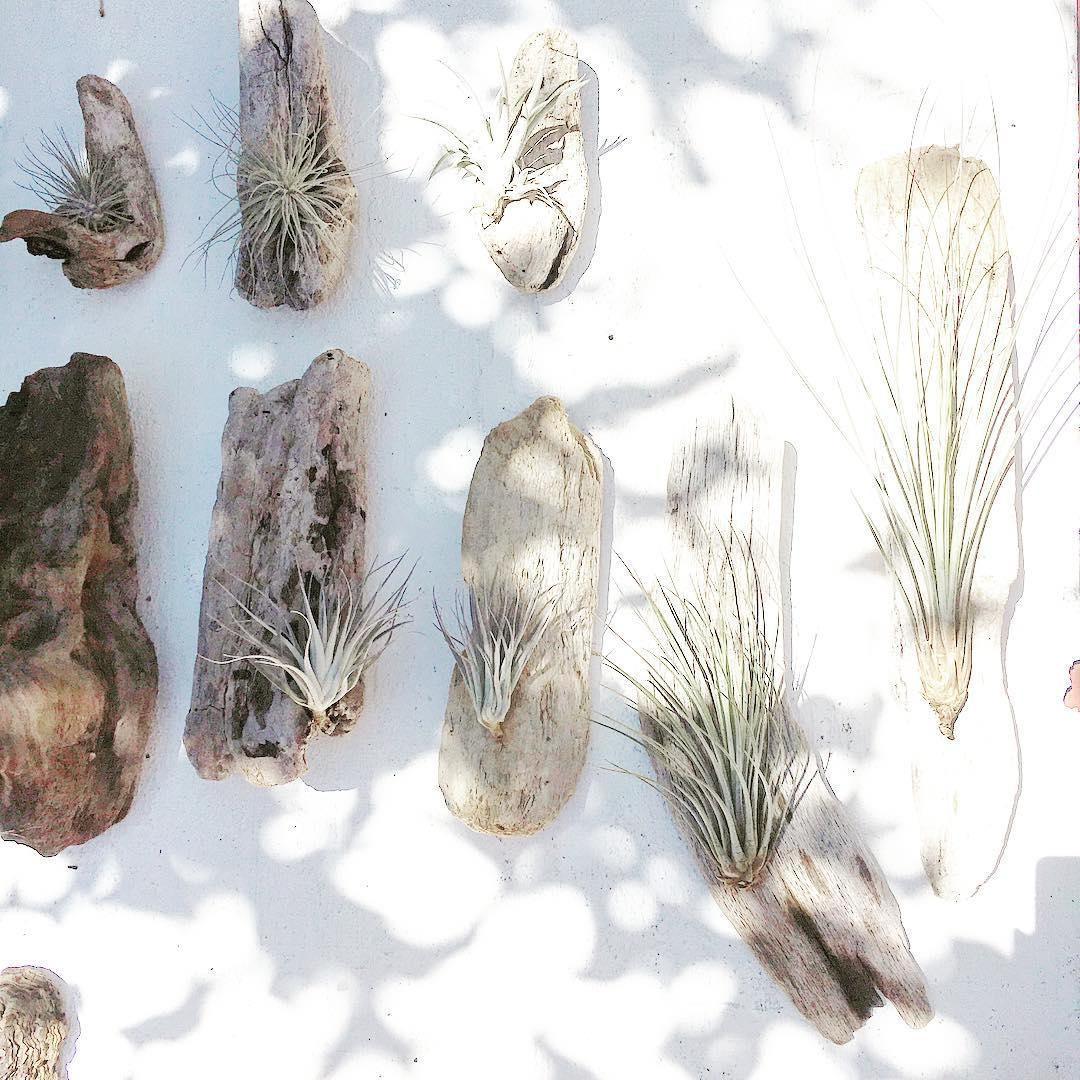 This is the best Friday Driftwood Airplant party ever!  Be safe, be nice and treat yourself right this weekend!  #booyah #july #driftwoodairplant #airplant #boardroomtill @boardroomtill #tillandsia #garden #mangarden #urbanfarmer #sfmade #marin #ca...