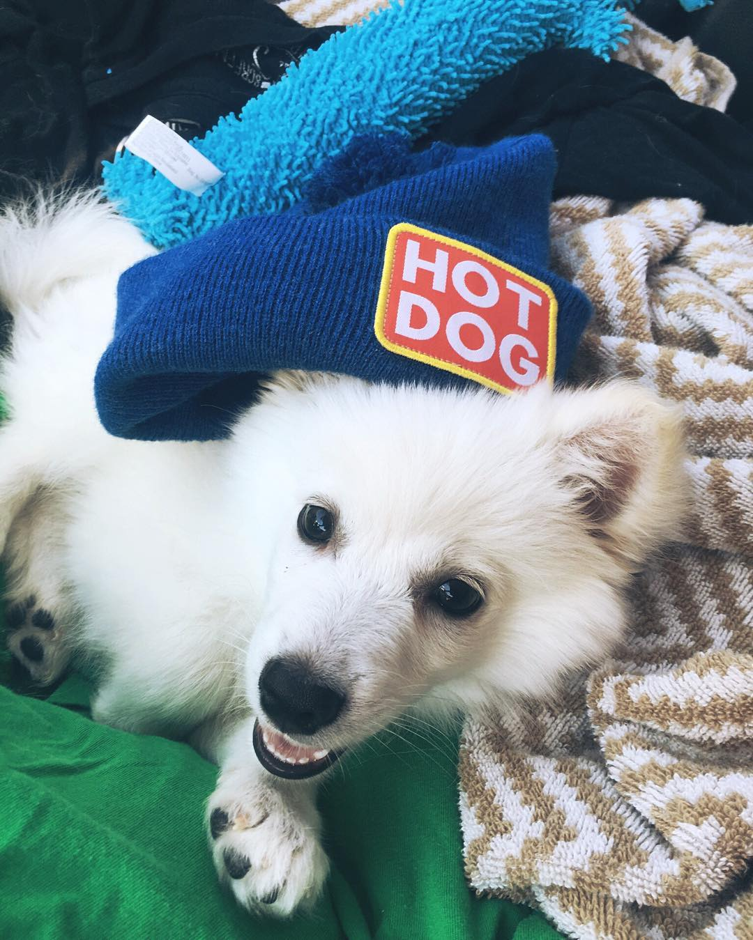 The newest @cobradogs employee #LouisDoge thinks that hot dogs are the most patriotic food. We agree! #coalheadwear #ViceBeanie