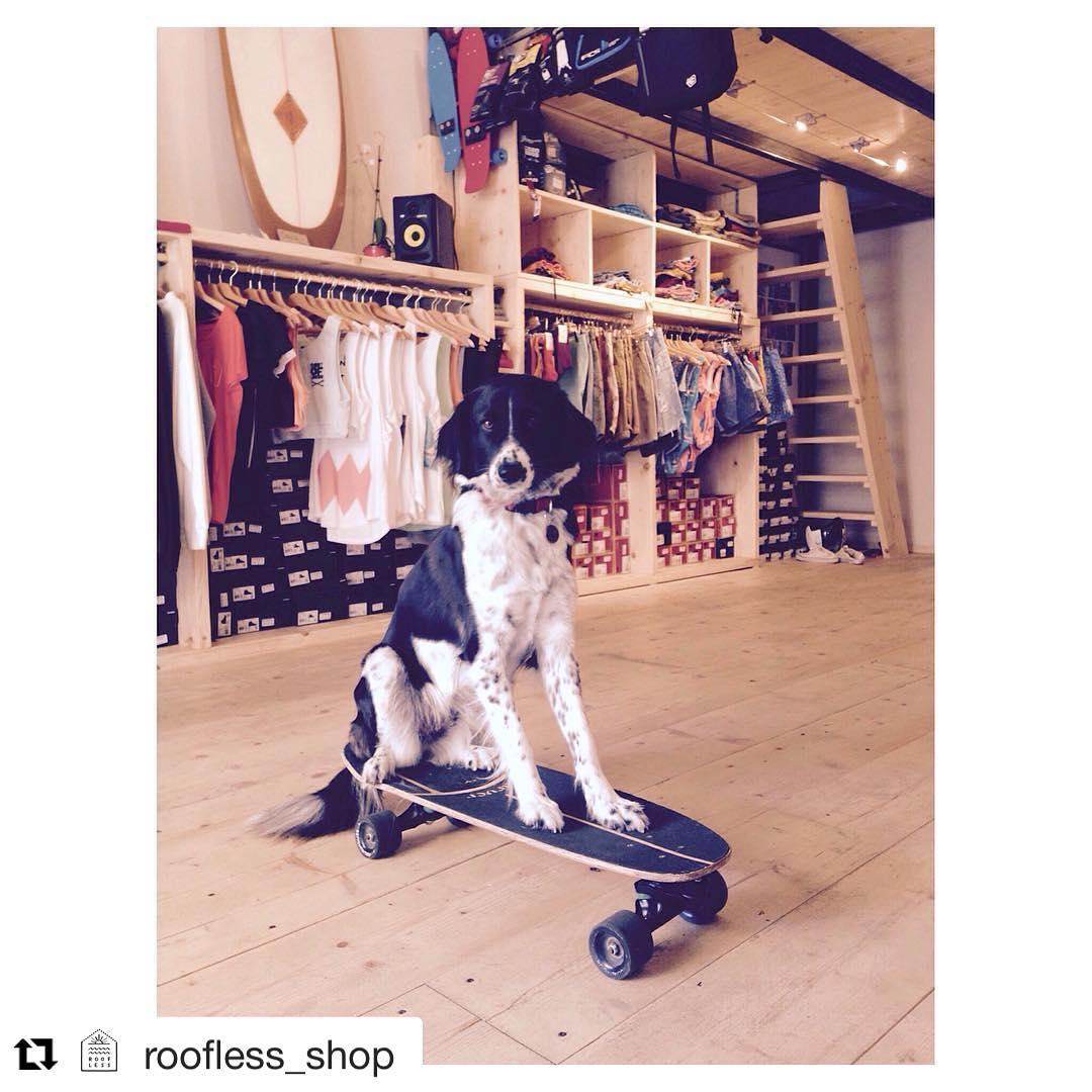 #Repost @roofless_shop (via @repostapp) ・・・ Everyone want Carver Skateboards!!! #Gilda #dog #rider #carver #skateboard #carverskateboard #roofless #rooflessshop #weskateforfun #love