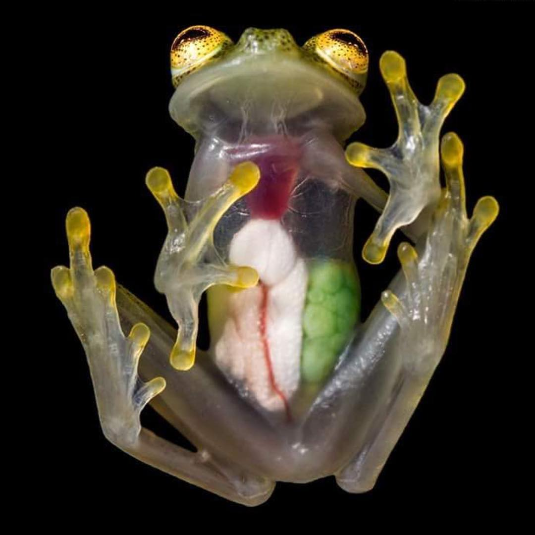 There are 60 different types of #GlassFrogs found in rainforests of Central and South America, named for their unique and translucent belly skin. Besides their see-through skin, their forward facing eyes differentiate themselves from other species of...