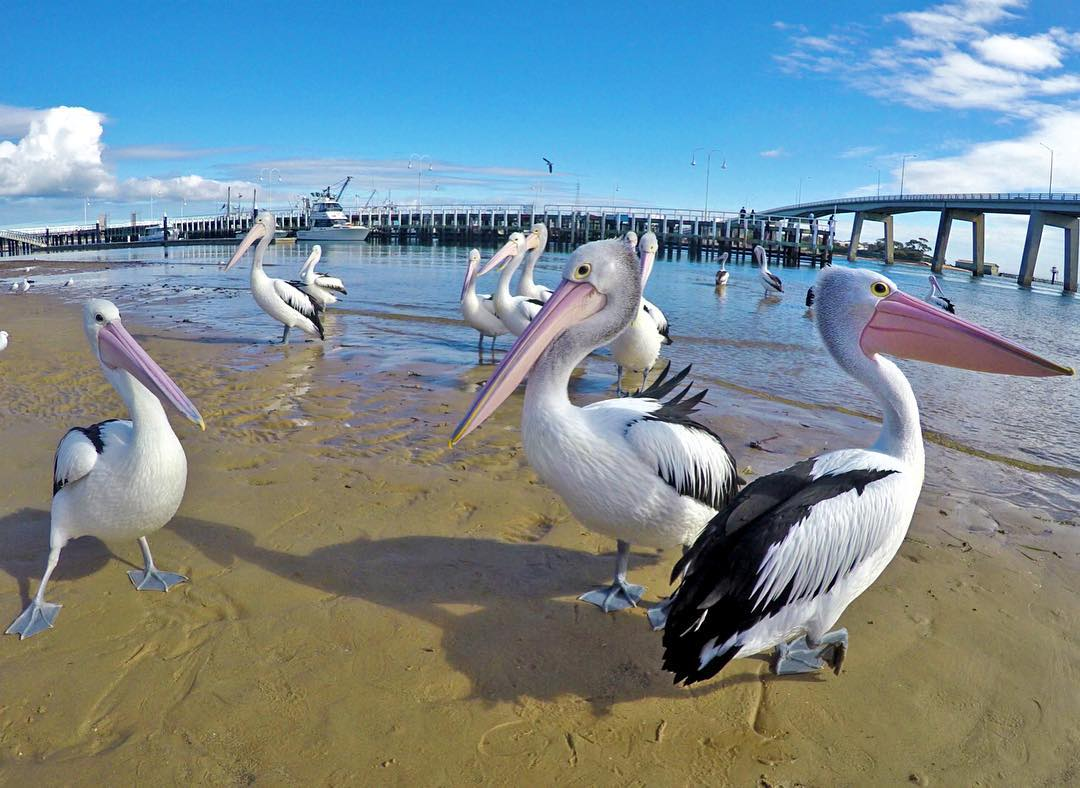 @who_is_vitto pelican watching on the beach in Australia. Shot with GoPro HERO4 and GoPole Reach. #gopro #gopole #gopolereach #pelican #australia