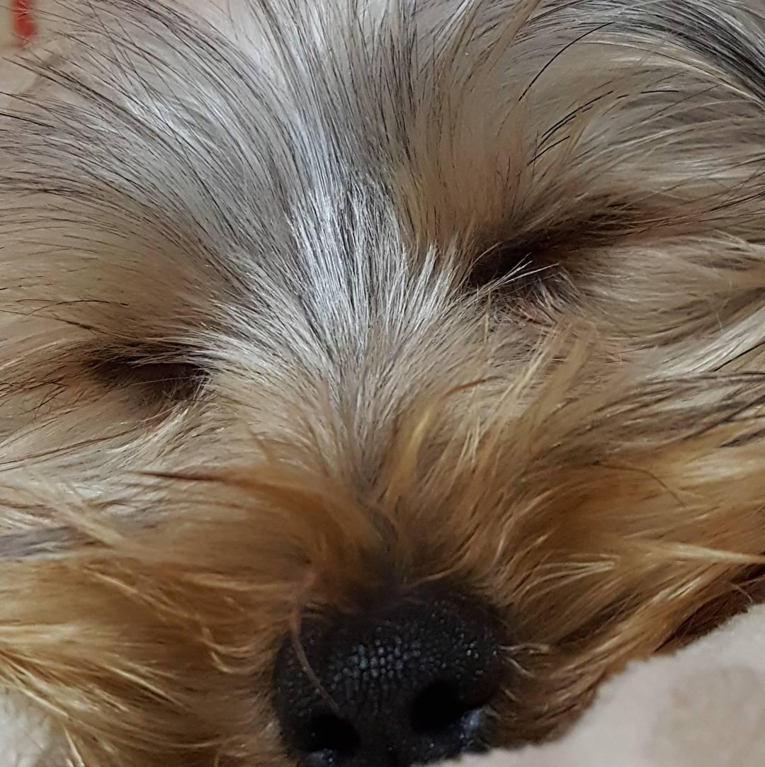Simplememte: Buenas noches! Y si mañana me toca vivir, estoy seguro que me toca un gran miercoles!!! #agean_animals #yorkshire #toto #ig_yorkshire #yorkie #all_my_own #pocket_macro #primerplano #zzz #buenasnoches #creacion #fiaca #cansado #nomolestar...