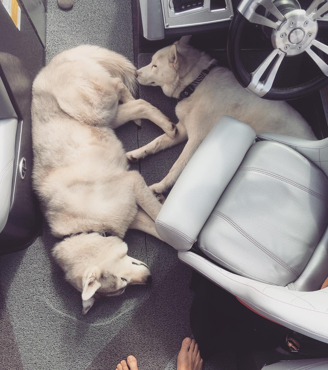 This is what our dogs do all day on our boat. They have zero interest in our wakesurfing or tubing. Their only interest here is food, getting pets, or when we arrive on shore and they can go back to hunting/chasing wildlife. #sleepsohard #sleepanywhere...