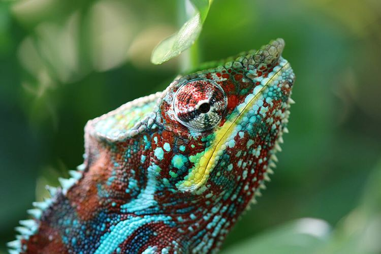 Looking to nature for inspiration is always a good idea.  Case in point: this #panther #chameleons coloring and texture