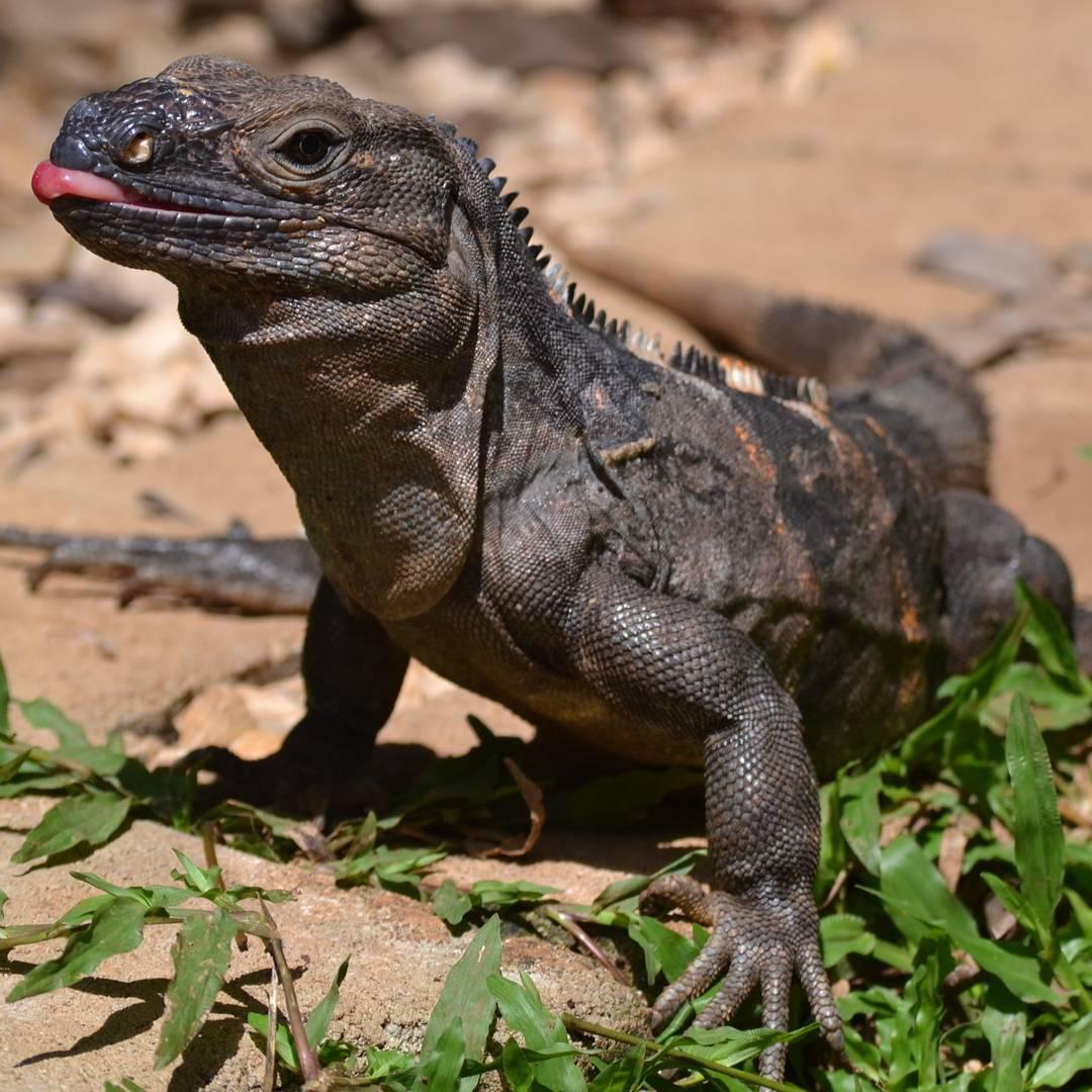 Toma pa' vo! Pluffff #all_my_own #iguana #lengua #creacion #descubrecostarica #mascota #agean_animals #fotografia #reptil #reinoanimal #nikon #d3100 #costarica #tamarindo #naturaleza #outdoor #nature_superpic