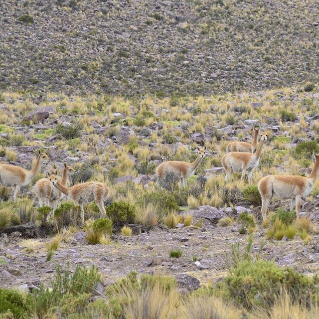 Poderes fantasticos activense: En forma de yuyos!!! #all_my_own #ig_argentina #argentina #camuflaje #vicuñas #noa #norteargentino #agean_animals #agean_fotografia #fotografia #picoftheday #ig_great_pics #onlysouthamerica #arte_of_nature #nikon #d3100...