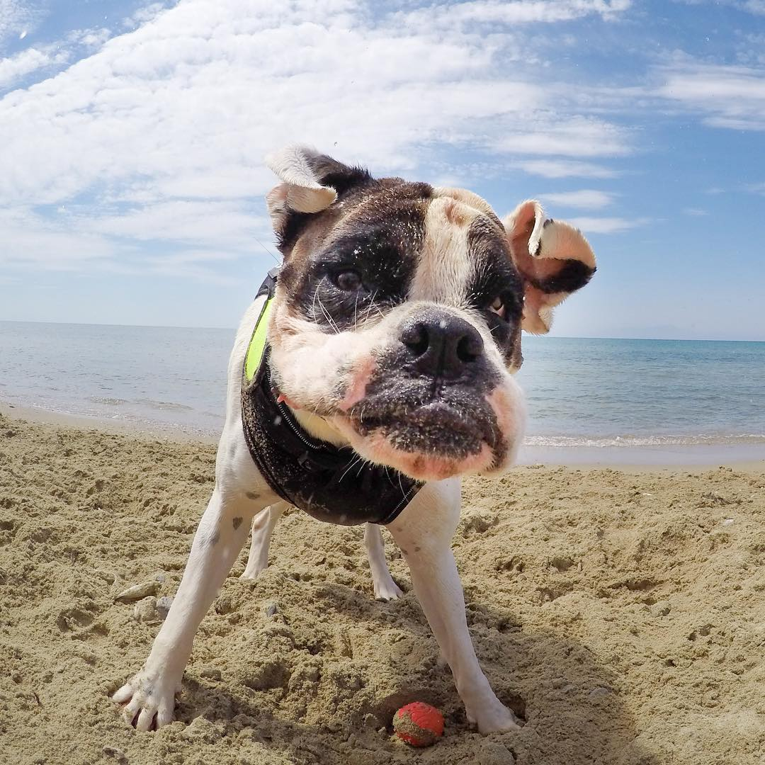 #GoPro Featured Photographer: #HEROSessionChallenge Third Place winner Eleni Mikou - @eleni_ralph_sylvie  Eleni may have perfectly captured the cutest and drooliest photo submitted to the #HEROSessionChallenge. Ralph the boxer is no stranger to his...