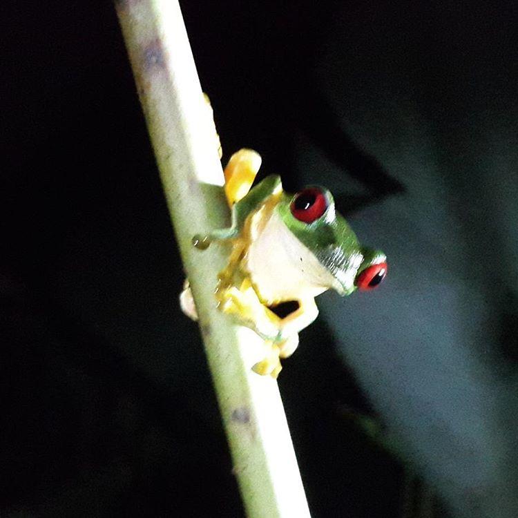 La excursion consiste en ingresar a la selva por la noche tan solo con una linterna que te ofrecen. Podes llevar tu camara pero no esta permitido utilizar el flash. Por eso No fue mi mejor foto. Los animales que ves son: ranas, serpientes, arañas,...