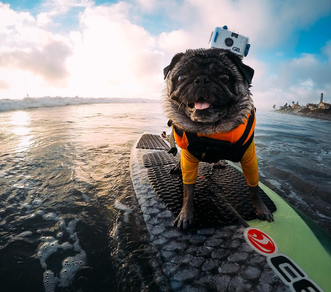 Photo of the Day! @brandy_the_pug is an OG on the #surfboard, so it's no surprise she's rocking the original #HERO 35mm! #GoPro #GoProPets #Surf #dogsofinstagram #surfingdogs #pugs #pugsofinstagram