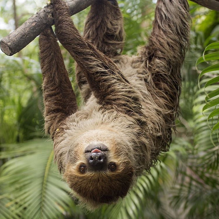 This is what #sloths look like when they're feeling philoslothical. #Cuipo #SaveRainforest #Slothlife