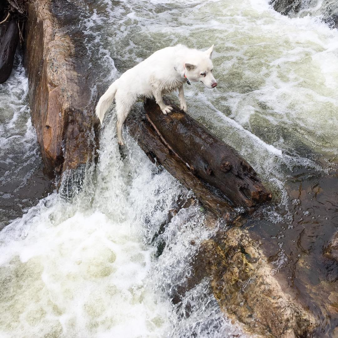 Had some fun playing in a river in the Utah mountains this past weekend with my kids and dogs. Yuki seemed to really like crossing the river back and forth, walking across several different logs. I was impressed! Seriously. she's quite agile....