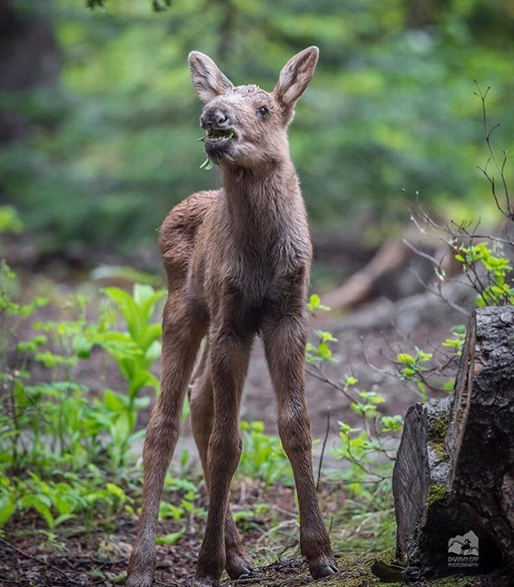Demigorgan or baby moose? Incredible
