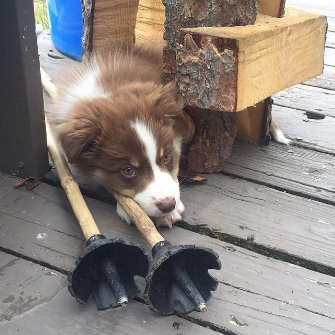 Just biding our time till winter... Promo code SUMMER25 = 25% OFF until Aug. 15th, only on PandaPoles.com!  Repost: @justinmarcinko  #PandaPoles #MagicSkiWands #Bamboo #SkiPoles #Puppy #Panda_Dog