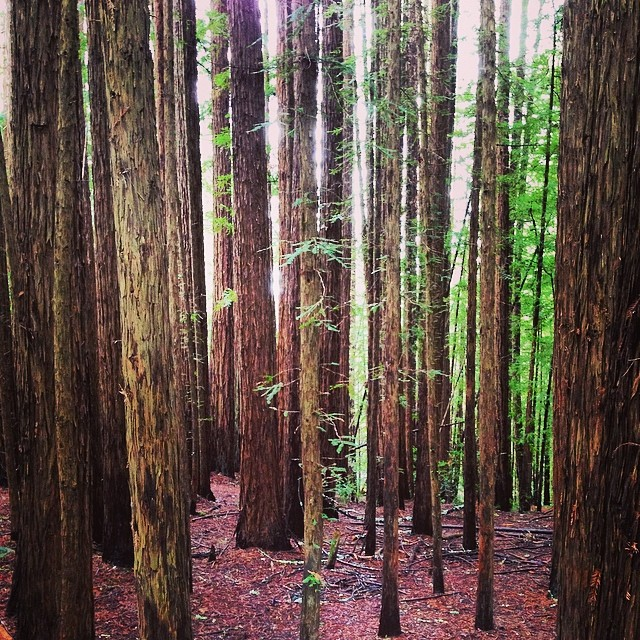 Went for a walk in the tall trees before WSP at the Fox. #muirwoods #wsp